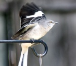 yellow-eyed mockingbird