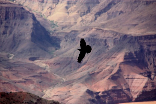 Raven gliding over Grand Canyon