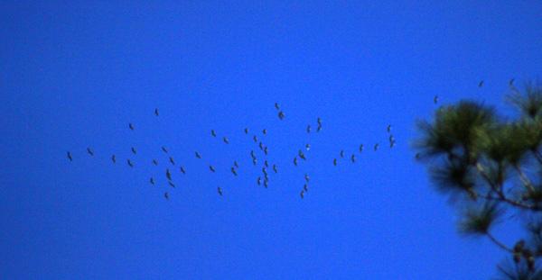 Sandhill Cranes Singing overhead
