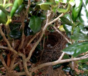 cardinal nest with three eggs