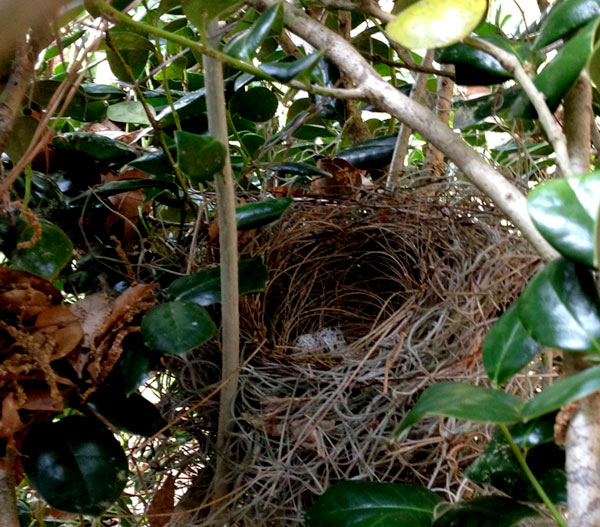 cardinal nest in bush
