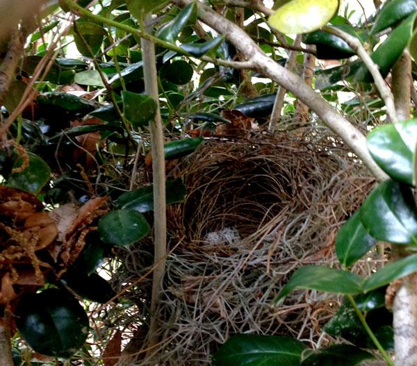 cardinal nest in bush