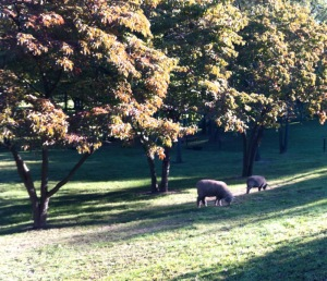 Sheep grazing at Flute Haven 2012