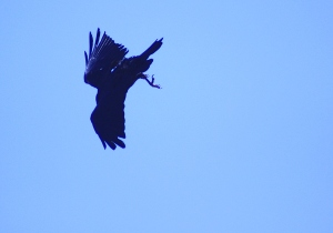 Raven in somersaut formation