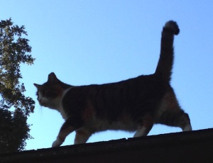 Cat patrol on the roof