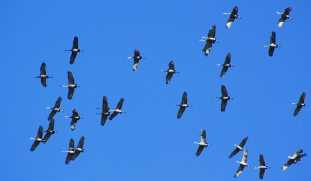 Sandhill Cranes Fly Overhead