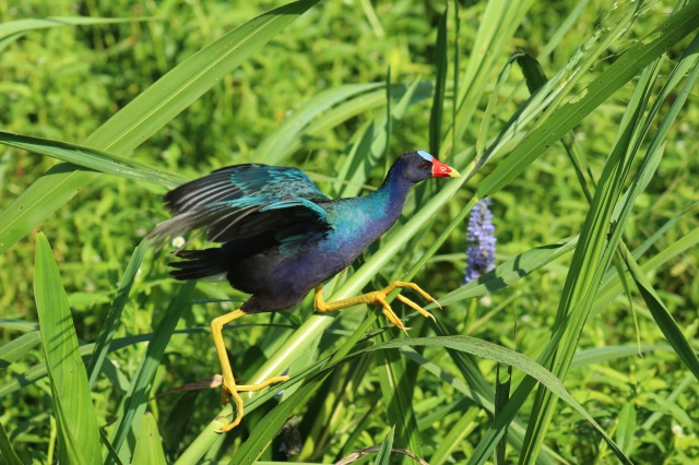 Purple Gallinule at Sweetwater Wetlands Park