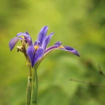 Wild Iris on the Hawthorne Trail