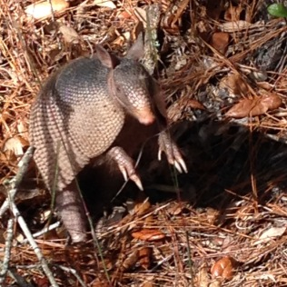 Armadillo poses at the side of the Hawthorne Trail